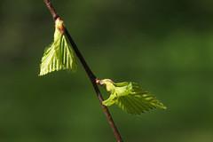 Kevadine kask (Jaan Keinaste) Tags: olympussh1 eesti estonia loodus nature kask birch kaseleht leht leaf kevad spring roheline green
