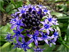 Scilla peruviana (antonè) Tags: scillaperuviana bulbacee fiore azzurro sorso sardegna petali pistilli antonè liliacea asparagacea geofita bulbosa peruanischerblaustern scilledupérou флорагибралтара