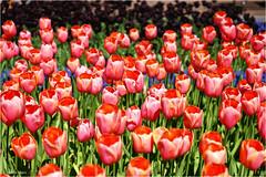 Whole lot of Tulips (Hindrik S) Tags: tulips tulpen red pink flower blom bloem blume fleur bulb bol bloembol blombol keukenhof 2018 netherlands nederland lisse zuidholland holland tún tuin garden garten jardin park creation skepping schepping schöpfung sonyphotographing sony sonyalpha sony1650mmf28dtssm sal1650