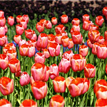 Whole lot of Tulips thumbnail