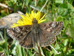 Dingy skipper (LPJC) Tags: butterfly twyfordwood lincolnshire uk 2018 lpjc dingyskipper skipper