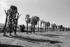 Tree line (lupuszka) Tags: trees line light sunlight grass grassland city town landscape landscapes cityscape alley natural monochrome bw blackandwhite analog film kodak tmax100 tmx100 kodaktmax100 nikonfe