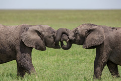Let's tie the knot (Ring a Ding Ding) Tags: shinyangaregion tanzania africa elephant loxodontaafricana royalwedding serengeti couple friendship love marriage nature playing safari wildlife young coth coth5 harryandmeghan