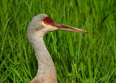 Crane (Karen_Chappell) Tags: bird nature crane travel utah usa animal saltlakecity green zoo aviary
