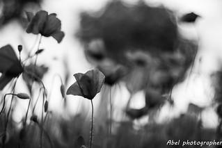 Amapolas en blanco y negro