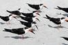Black Skimmers (Rynchops niger);  Venice, CA, Venice Beach [Lou Feltz] (deserttoad) Tags: nature animal water park florida bird wildbird tern gull flight behavior beach skimmer