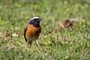Redstart (PINNACLE PHOTO) Tags: redstart common phoenicurusphoenicurus surrey bird pretty red chest black song