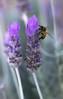 Lavender lover (Jutta Sund) Tags: lavender purple closeup