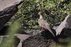 Mourning Dove (jlcummins - Washington State) Tags: bird mourningdove wenaswildlifearea yakimacounty washingtonstate wildlife tamronsp150600mmf563divcusd canon