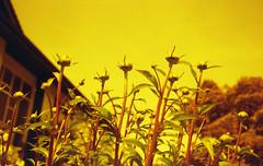 Planet Dhalialeo (Yutaka Seki) Tags: petricomputor35 kodakgcultramax400 expiredfilm analogue homedeveloped unicolorpresskit redscale dhalias buttons stems flowers