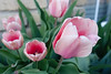 Pink Ladies (gabi-h) Tags: tulips pink pinktulips flowers spring beauty gabih blooms petals leaves green garden blossoms