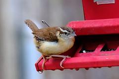 Carolina Wren 5.20.18 (Gene Ellison) Tags: carolina wren feeder seeds