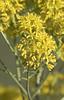 Woad (Isatis tinctoria) (macronyx) Tags: nature blommor plants plant växt växter flower flowers woad vejde isatis isatistinctoria