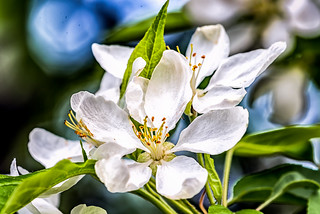 Courtyard Flowers - Apple Blossom_