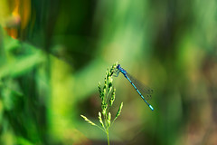 """Azure Damselfly"" (helmet13) Tags: d800e raw fauna coenagrionpuella dragonfly natur nature selectivefocus bokeh insecta macro aoi peaceawards outdoor sunshine world100f"
