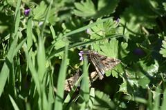 Pareja de Hesperiidae (esta_ahi) Tags: olèrdola penedès barcelona spain españa испания mariposa papallona butterfly lepidoptera insectos fauna hesperiidae