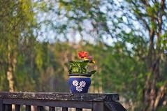 Outdoor vase (Stefano Rugolo) Tags: stefanorugolo pentax k5 pentaxk5 ricoh ricohimaging helios44258mmf2 helios442 swirl bokeh outdoor vase gerbera flower spring tree branches depthoffield vintagelens manualfocus manualfocuslens primelens hälsingland sweden