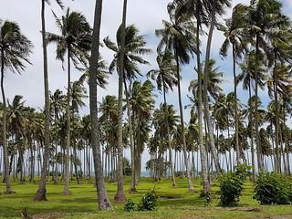 Cocotiers bercés par le vent du sud à Tahiti