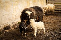 Parenthood (Elin Laxdal) Tags: animal sheep livestock lambing lamb spring leadersheep iceland may