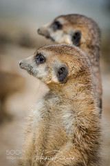 The guard (KevinBJensen) Tags: reptile natural habitat african mammal blacktailed prairie dog aquatic leopard tortoise wildlife refuge mongoose meerkat danger watching alarm cute animal fur wild