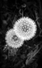 #BlowFlower#Black#White (patrick.bressner) Tags: blowflower white black pusteblume bokeh canonef50mm sonya7 commliteadaptereftoemount