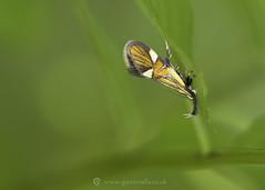Common Tubic Moth - Alabonia geoffrella 25th May (Gavin Vella) Tags: insectsuk bugsuk ukbugs ukamphibians macro macrolens macrophotography ukwildlife british britishwildlife britishinsects canon canon7dmkii