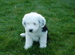 Stuffed Toy? (Missy2004) Tags: dog puppy dora oldenglishsheepdog cmcaug06 beautifulworldchallenges