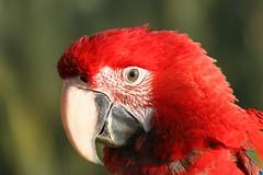 Scarlet Macaw (Parks ZA) Tags: red green bird animal scarlet macaw abigfave
