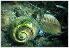 Tonna galea - Pu Bava - Giant Tun (akQ100) Tags: sea geotagged underwater croatia adriatic lastovo scoopt tonnagalea pubava gianttun