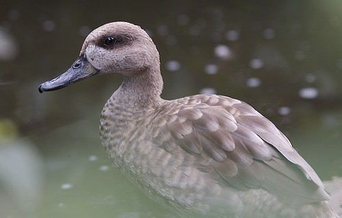 Marbled Teal by calydelphoto.