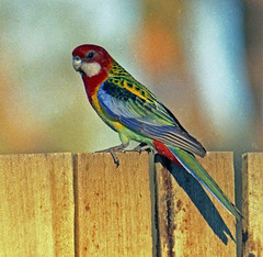 Eastern Rosella male - by mgjefferies