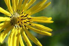 Prairie Dock flower (violetflm) Tags: flower yellow d2x il prairie es cbg chicagobotanicgarden prairiedock dsc4133