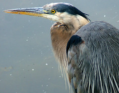 Closer..... (shesnuckinfuts) Tags: bird heron pond backyard blueheron photooftheweek animalplanet kentwa featheryfriday saywa experiencewa animaladdiction specanimal abigfave shesnuckinfuts