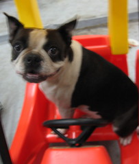 Beanie Passes Driver's Ed. (arfbeans) Tags: pet puppy bostonterrier funny driver beanie