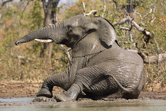 Elephant mud bath (Wildcaster) Tags: africa elephant nature wildlife dumbo conservation safari zimbabwe jumbo tusks africanelephant southernafrica tusker cites loxodontaafricana africanwildlife phylumchordata malilangwe kingdomanimalia classmammalia wildlifeconservation specanimal animalkingdomelite wildcasting greatlimpopotransfrontierpark wildlifedocumentary wildlifefilms wildlifeeducation gameranging gonarezhou orderproboscidea familyelephantidae genusloxodonta wildcastselect