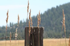 ranch2006 079 (palomino (patsy)) Tags: mountain wire getaway barbwire spiritofthewest woodenpost ilikegrass westernpicks