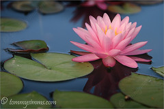 Reflection Of A Lily (Tommy Simms) Tags: pink flowers flower reflection art 20d nature water floral reflections garden georgia botanical bravo lily blossom canon20d blossoms pad canoneos20d abg bloom lillies blooms lilypad canoneos atlantabotanicalgardens atlantabotanicalgarden excellence pinklily naturesfinest excellenceinfloral tommysimms 1500v60f theworldthroughmyeyes 32302 mywinners abigfave cdpg 1400secf4195mm70200lis14xtiso100 3030300 tsexplore copyrightwwwtommysimmscom
