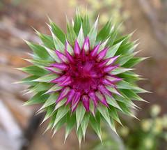 Scotch Thistle Flower Bud (roddh) Tags: lake inspiration macro green canon point interestingness interesting purple thistle jenny symmetry scotch wyoming grandteton pro1 roddh