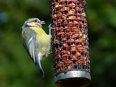 My little visitors are returning... (Gale's Photographs) Tags: bird nature wildlife mygarden bluetit specnature