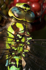 """Southern Hawker (Aeshna cyanea) Drago(4) • <a style=""""font-size:0.8em;"""" href=""""http://www.flickr.com/photos/57024565@N00/228483841/"""" target=""""_blank"""">View on Flickr</a>"""