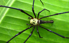 Golden Orb Web Spider (Felix Francis) Tags: life wild india macro net nature beauty animal spider asia colours legs wildlife web sting kerala best fangs araigne toile arachnida thrissur arachanid rhytm parying
