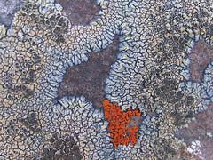 Multicolor Lichen (Detail) (roddh) Tags: blue orange macro green canon patterns lichen geology pro1 campdavis roddh abigfave