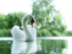 Romancing the Swan (Kevin Day) Tags: lake water photoshop swan soft romance slough berkshire kevday langleypark