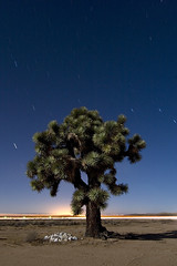 Giant Joshua (Lost America) Tags: california night bravo desert joshuatree fullmoon pi startrails yuccabrevifolia kramerjunction highway58 abigfave
