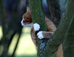 Muffi (Mats&Muffi) Tags: orange pet cats pets tree animal cat orangecat tabby kitty dynax7d animalplanet treehugger treecat muffi cc1300 cc1000 cc1400 cc1200 cc1100 oreengeness onegoodphoto bestofcats impressedbeauty cat1100 pet500