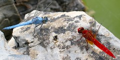 The meeting (macropoulos) Tags: blue red insect top20animalpix topf50 topv555 500v20f dragonfly 500v50f animalplanet odonata libellulidae anisoptera naturesfinest canonpowershots45 erythraea wildlifephotography interestingness172 i500 1000v40f orthetrum specnature crocothemis wildlifeeurope brunneum explore8sep06 30faves30comments300views