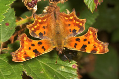 "Coma Butterfly (polygonia c-album) • <a style=""font-size:0.8em;"" href=""http://www.flickr.com/photos/57024565@N00/238470914/"" target=""_blank"">View on Flickr</a>"