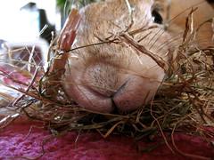 Redecorating... (Sjaek) Tags: pet pets macro cute rabbit bunny closeup sweet konijn adorable fluffy pip hay