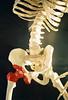 time for science (brian ground) Tags: red white museum skeleton south columbia ribs carolina childrens disc pelvis socket vertebrae edventure