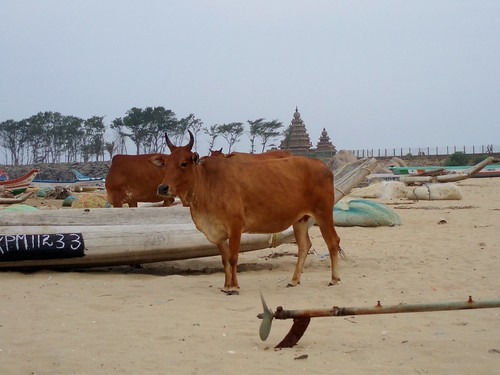 Sacred cow, temple, beach... Isn't that unreal?